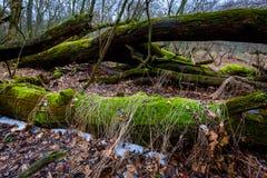 Παλαιά ξύλα στο βαθύ δάσος Στοκ Εικόνα