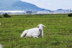 Παλαιά πρόβατα στη χλόη Στοκ Φωτογραφίες