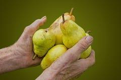 Παλαιά χέρια αγροτών με τα επιλεγμένα ώριμα αχλάδια Στοκ Εικόνες