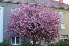 Παλαιές πολυκατοικίες και μεγάλο ανθίζοντας δέντρο στοκ φωτογραφία με δικαίωμα ελεύθερης χρήσης