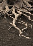 Παλαιές ρίζες δέντρων πεύκων Στοκ Εικόνα