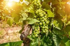 Παλαιοί αμπελώνες με τα σταφύλια κόκκινου κρασιού στην περιοχή κρασιού του Αλεντέιο κοντά στη Evora, Πορτογαλία στοκ εικόνες