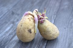 Παλαιοί βολβοί πατατών Στοκ Εικόνα