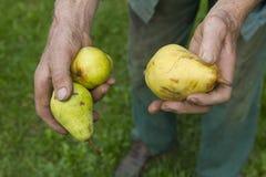 Παλαιός αγρότης που επιλέγει τα ώριμα κίτρινα αχλάδια Στοκ εικόνες με δικαίωμα ελεύθερης χρήσης
