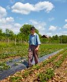 Παλαιός αγρότης στον τομέα φραουλών Στοκ εικόνα με δικαίωμα ελεύθερης χρήσης