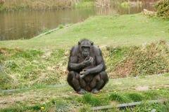 Ο πίθηκος κοιτάζει Στοκ Εικόνα
