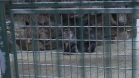 Παλαιός και λυπημένος πίθηκος στο κλουβί απόθεμα βίντεο