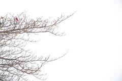 Παλαιός κλάδος κανένα υπαίθριο υπόβαθρο δέντρων άδειας Στοκ Εικόνες