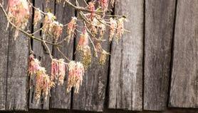 Παλαιός ξύλινος τοίχος με τους κλάδους δέντρων σύσταση Υπόβαθρο στοκ εικόνες