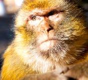 παλαιός πίθηκος στην Αφρική Μαρόκο και πανίδα φυσικού υποβάθρου στενή Στοκ φωτογραφία με δικαίωμα ελεύθερης χρήσης