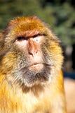 παλαιός πίθηκος στην Αφρική Μαρόκο και φυσικός Στοκ φωτογραφία με δικαίωμα ελεύθερης χρήσης