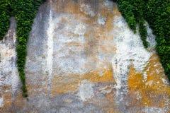 Παλαιός συμπαγής τοίχος με τον πράσινο κισσό Στοκ Φωτογραφία