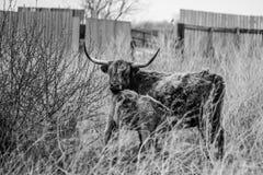 Παλαιός ταύρος Στοκ Εικόνα