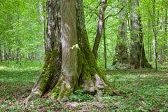 Παλαιός τα δέντρα στη στάση sumertime Στοκ Εικόνα