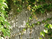 Παλαιός τοίχος πετρών και πράσινο υπόβαθρο κισσών Στοκ Εικόνες