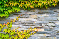 Παλαιός τοίχος πετρών με τις εγκαταστάσεις κισσών φθινοπώρου Στοκ εικόνες με δικαίωμα ελεύθερης χρήσης