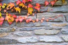 Παλαιός τοίχος πετρών με τις εγκαταστάσεις κισσών φθινοπώρου Στοκ Εικόνες