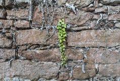 Παλαιός τοίχος πετρών με τις ρίζες κισσών Στοκ εικόνες με δικαίωμα ελεύθερης χρήσης