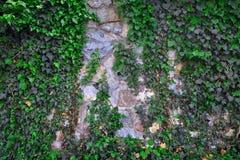 Παλαιός τοίχος πετρών που καλύπτεται από τον πράσινο κισσό Στοκ φωτογραφίες με δικαίωμα ελεύθερης χρήσης