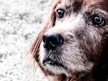 παλαιός λυπημένος σκυλ&iot στοκ φωτογραφία με δικαίωμα ελεύθερης χρήσης