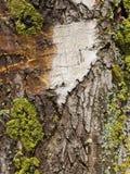 Παλαιός φλοιός δέντρων λευκών Στοκ Εικόνα