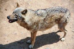 παλαιός λύκος στοκ εικόνα