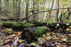 Παλαιός mossy συνδέεται το δάσος Στοκ φωτογραφίες με δικαίωμα ελεύθερης χρήσης