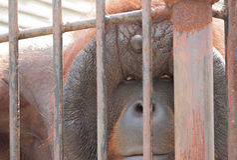 Παλαιός orangutan πίθηκος στο κλουβί Στοκ Εικόνες