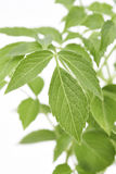 Παλαιότερα φύλλα φυτού Στοκ εικόνα με δικαίωμα ελεύθερης χρήσης