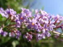 Παλαιότερες άγρια περιοχές λουλουδιών Στοκ Εικόνα
