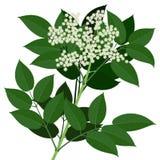 Παλαιότερο λουλούδι Στοκ εικόνες με δικαίωμα ελεύθερης χρήσης