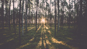 Παλαιό δάσος με καλυμμένες τα βρύο δέντρα και τις ακτίνες του ήλιου Στοκ Εικόνες