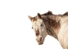 Παλαιό άλογο Appaloosa που απομονώνεται στο λευκό Στοκ Εικόνες