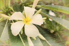 παλαιό έγγραφο λουλουδιών τροπικό Plumeria Στοκ Εικόνα