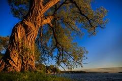 Παλαιό δέντρο από τη λίμνη Στοκ φωτογραφία με δικαίωμα ελεύθερης χρήσης