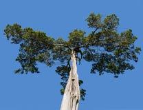 Παλαιό δέντρο κέδρων στο εθνικό πάρκο Appomattox Στοκ εικόνες με δικαίωμα ελεύθερης χρήσης
