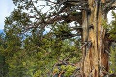 Παλαιό δέντρο κέδρων Gnarly Στοκ Φωτογραφία