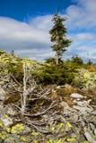 παλαιό δέντρο και πράσινο δέντρο στα βουνά Στοκ Εικόνες