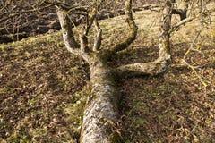 παλαιό δέντρο μήλων Στοκ εικόνα με δικαίωμα ελεύθερης χρήσης