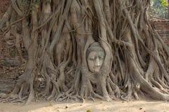 Παλαιό δέντρο με το κεφάλι του Βούδα Στοκ Εικόνες