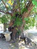 Παλαιό δέντρο μουριών στοκ φωτογραφία με δικαίωμα ελεύθερης χρήσης