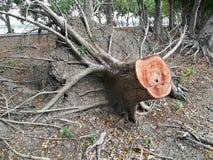 Παλαιό δέντρο περικοπών κολοβωμάτων δέντρων ή σπασμένο δέντρο Στοκ Φωτογραφία
