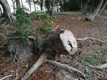 Παλαιό δέντρο περικοπών κολοβωμάτων δέντρων ή σπασμένο δέντρο Στοκ εικόνα με δικαίωμα ελεύθερης χρήσης
