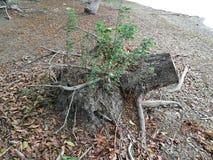 Παλαιό δέντρο περικοπών κολοβωμάτων δέντρων ή σπασμένο δέντρο Στοκ Εικόνες