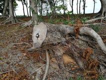 Παλαιό δέντρο περικοπών κολοβωμάτων δέντρων ή σπασμένο δέντρο Στοκ εικόνες με δικαίωμα ελεύθερης χρήσης