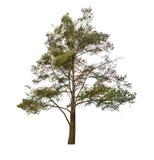Παλαιό δέντρο πεύκων που απομονώνεται στο λευκό Στοκ Εικόνα