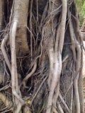 παλαιό δέντρο ρίζας Στοκ Φωτογραφίες