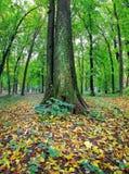 Παλαιό δέντρο σε ένα πάρκο φθινοπώρου Στοκ φωτογραφίες με δικαίωμα ελεύθερης χρήσης