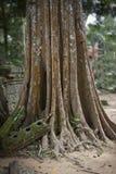 Παλαιό δέντρο στις καταστροφές Angkor Wat Στοκ εικόνα με δικαίωμα ελεύθερης χρήσης