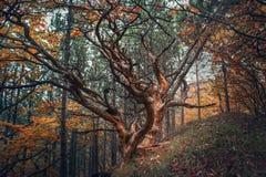 Παλαιό δέντρο στο δάσος φθινοπώρου Στοκ Εικόνες